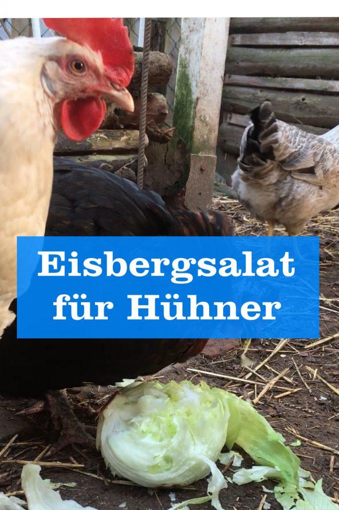 Eisbergsalat für Hühner