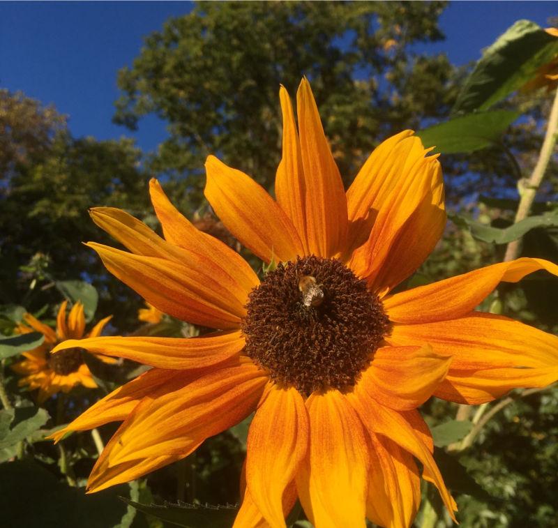 Sonnenblumen selber anbauen