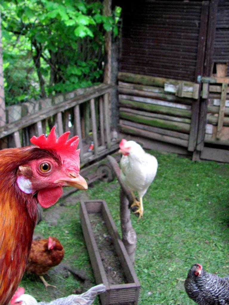 Rasen füttern an Hühner